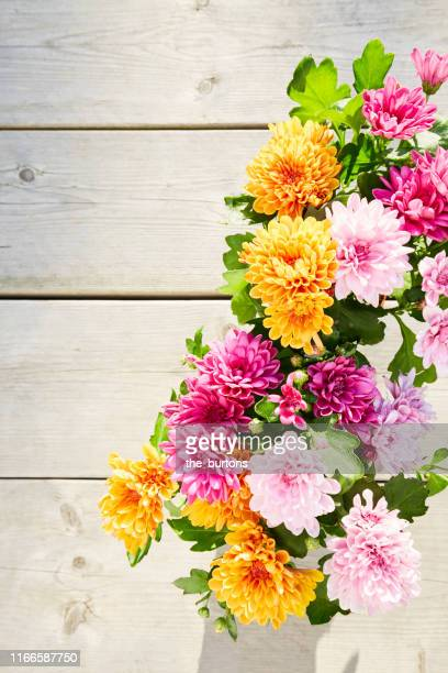 still life of colorful chrysanthemum plants on wooden background, directly above shot of planting flowers in garden - chrysanthemum stock pictures, royalty-free photos & images