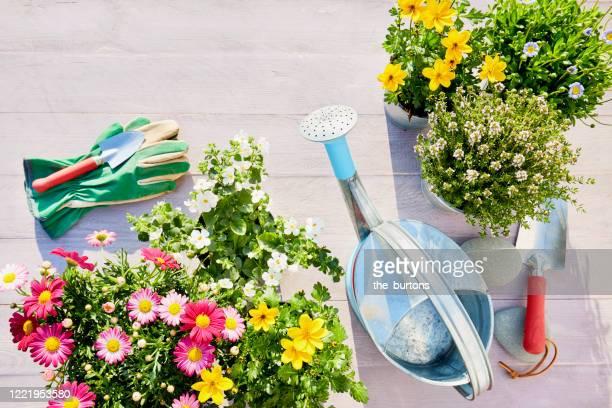 still life of colorful flowering garden plants, watering can, shovel and garden gloves on wooden background in summer - garten stock-fotos und bilder