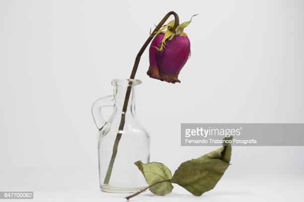 still life of dried rose inside a vase - dead rotten fotografías e imágenes de stock