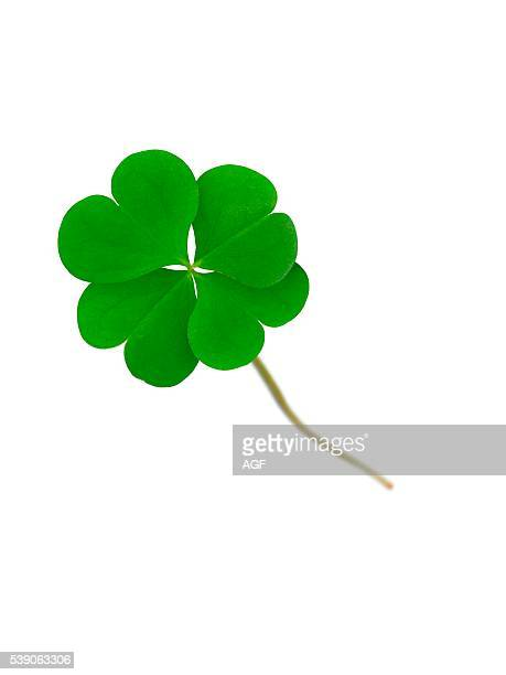 Still Life of Green Four Leaf Clover with White Background