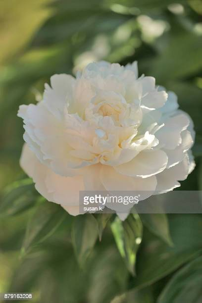 Still life of peony blooming in the garden.