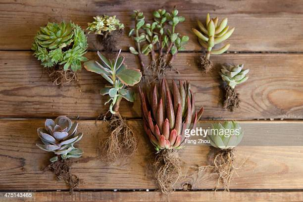 Still life of succulent plants and roots