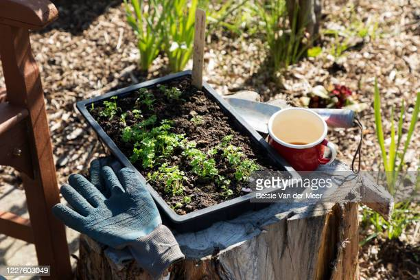 still life of tray of seedlings waiting to be planted in garden. - springtime stock pictures, royalty-free photos & images