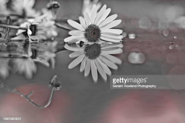 Still Life Photography - Daisy