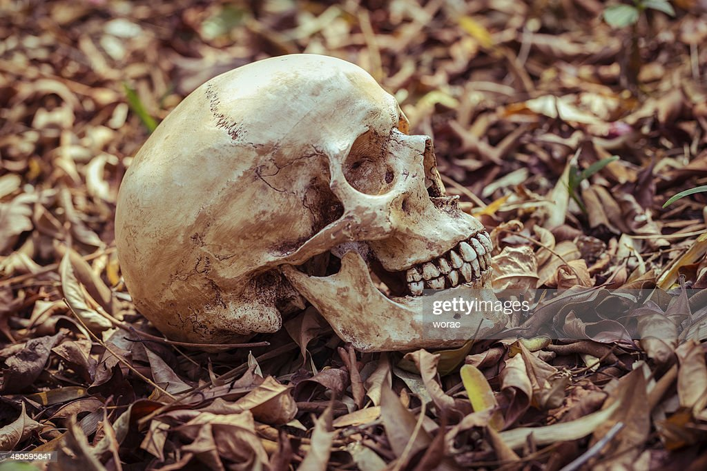 still life skull : Stock Photo