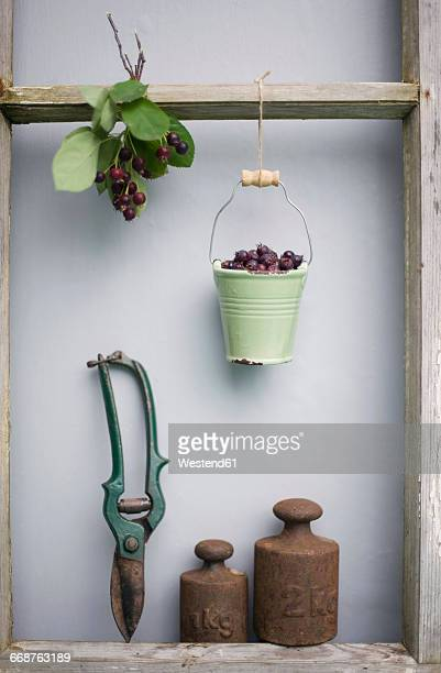 Still life with od hedge trimmer, weights and pail with berries of shadbush