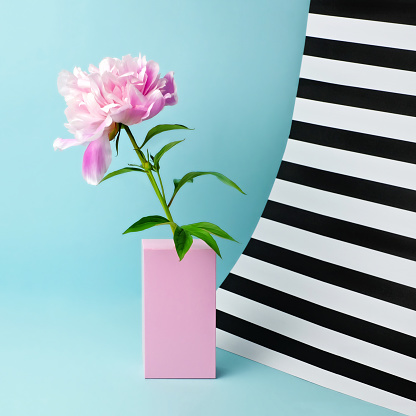 Still life with pink peony and striped background - gettyimageskorea