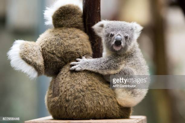 A still unnamed koala clings to a cuddly toy as it is been weighed at the zoo Duisburg western Germany on July 26 2017 / AFP PHOTO / dpa / Marius...