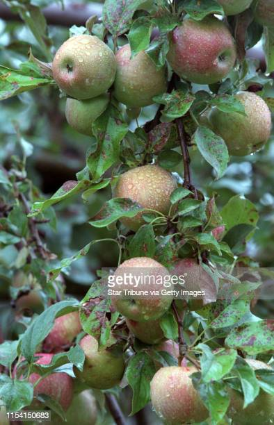 Stillwater, Mn., Saturday, Sept. 3, 2000--Pick your own apples at Aamodtís Orchard. IN THIS PHOTO: A heavily laden tree with apples wet from rain.