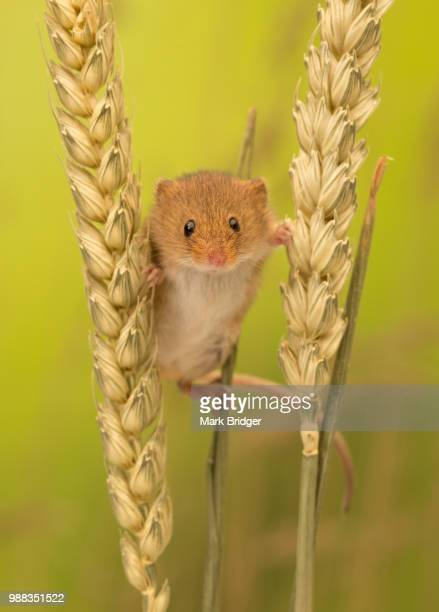 stilt walker - harvest mouse stock pictures, royalty-free photos & images