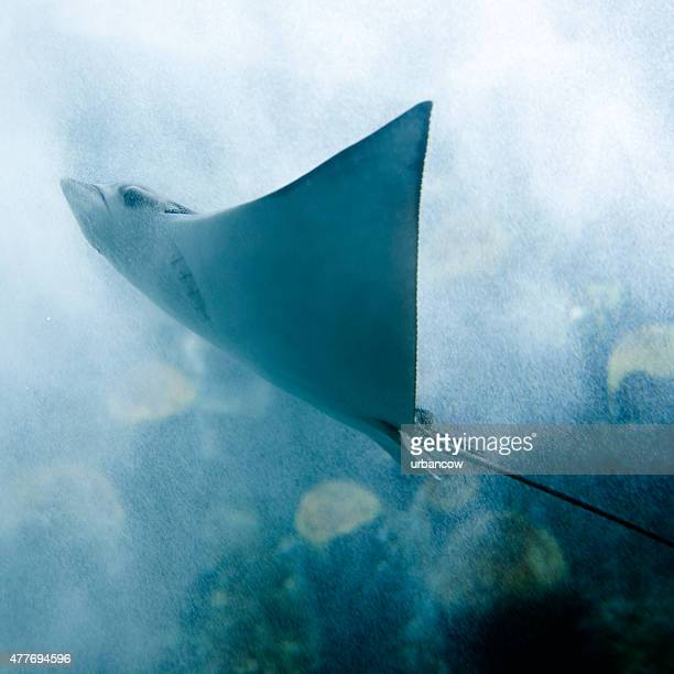 sting ray gliding through bubble filled water - stingray stock photos and pictures
