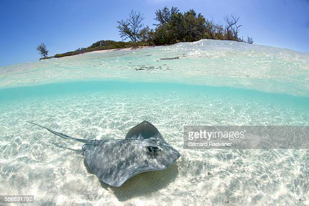sting ray in shallow water - bimini stock photos and pictures