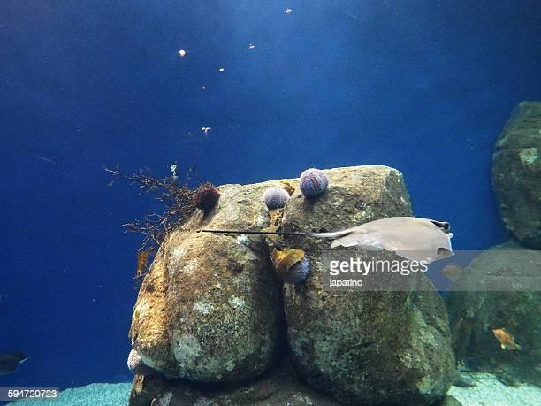 Stingray and sea urchins