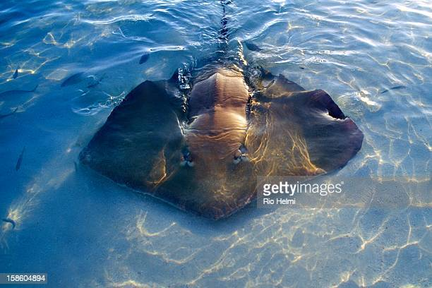 A stingray comes up to the beach at sunset foraging for food off Vabbinfaru island in the Maldives