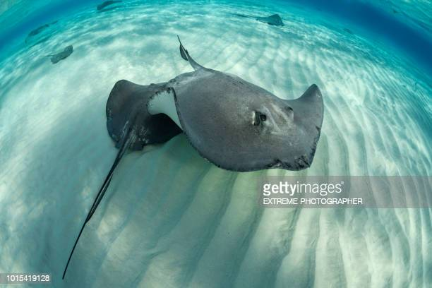 stingray fish - big bottom stock pictures, royalty-free photos & images