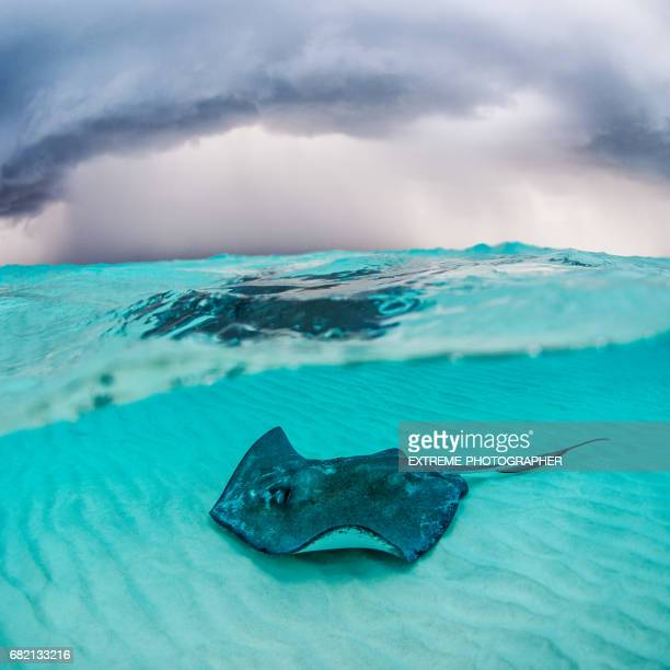 stingray fish - stingray stock photos and pictures