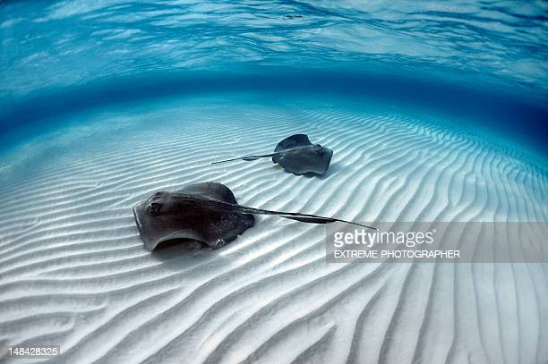 stingray fishes - stingray stock photos and pictures