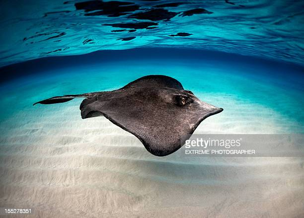 Stingray in the water