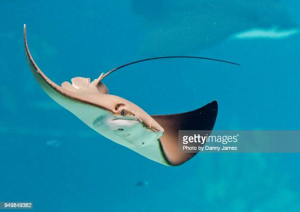 stingray - stingray stock photos and pictures