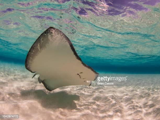 stingray swimming underwater, stingray city, grand cayman, cayman islands - 浅い ストックフォトと画像