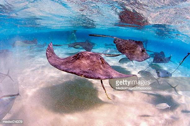Stingrays and fish in the Caribbean off Grand Cayman Island