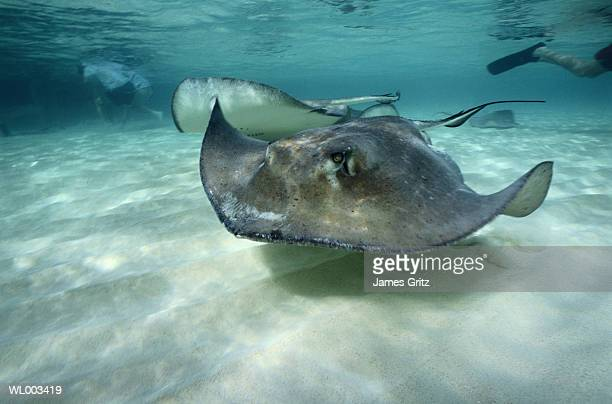 stingrays - stingray stock photos and pictures
