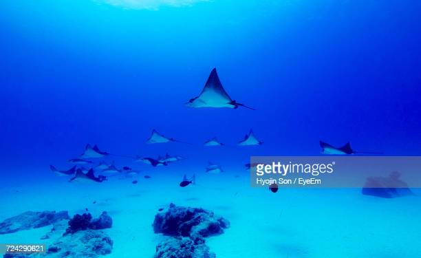 stingrays swimming underwater - stingray stock photos and pictures