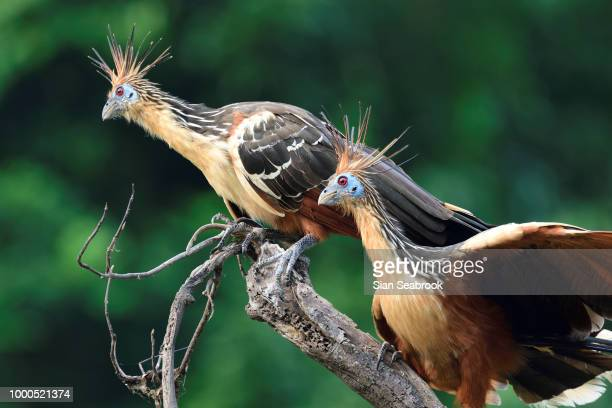 stinkbirds - hoatzin stock pictures, royalty-free photos & images