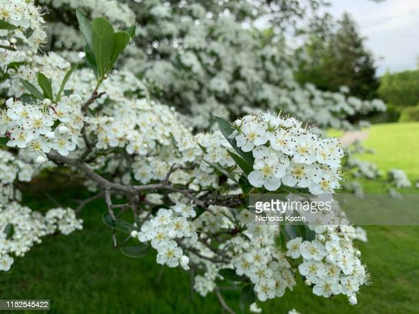 stinky wild apple flowers - apple blossom stock pictures, royalty-free photos & images