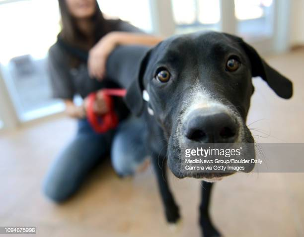 Stitch a seven month old male Great Dane mix is available for adoption at the Longmont Humane Society 9595 Nelson Rd Nov 24 2015