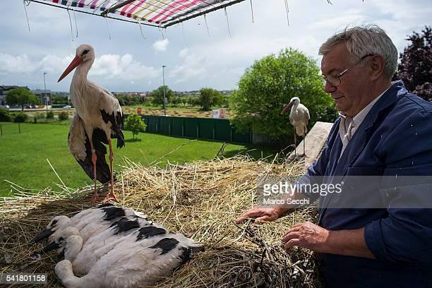 Stjepan Voki makes sure the Stork chicks of Malena and Klepetan are well on June 20 2016 in Brodski Varoä Croatia Stjepan Voki has been taking care...