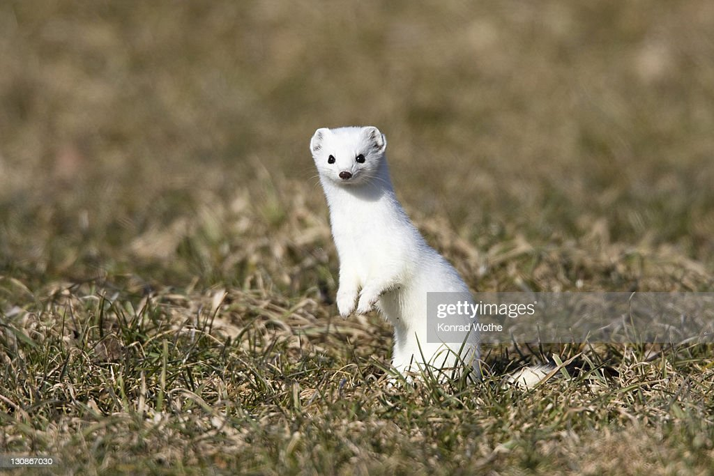 Stoat Ermine In Winter Coat Germany Europe High-Res Stock