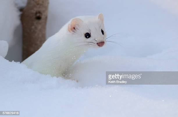 A stoat sticks it's head up from a snow bank.