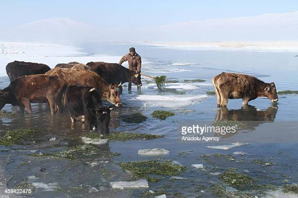 A stock farmer in Caldiran district of Turkey's eastern city Van feeds his animals with grass removed from an ice covered lake