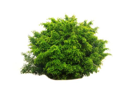 Stock Photo - tree isolated on white background 475172746