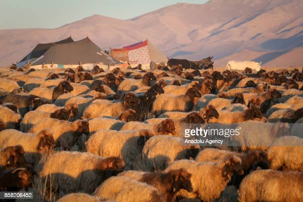Stockbreeders herd sheep at the highlands of Van Turkey on October 6 2017 Every year stockbreeders return their homes after going up high altitudes...