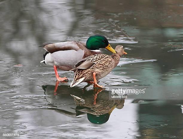 Stockente Anas platyrhynchos Stockenten Ente Enten Wasservogel Wasservögel Winter Eis Spiegelung spiegeln spiegelt sich Entenballett Kampf um jeden...