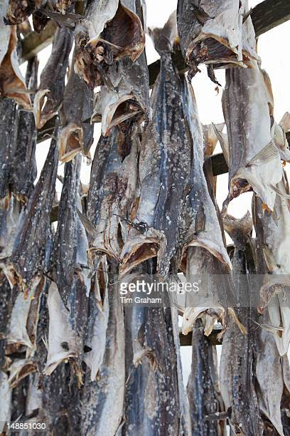 Stockfish cod drying on traditional racks hjell in the Arctic Circle on the island of Ringvassoya in region of Tromso Northern Norway