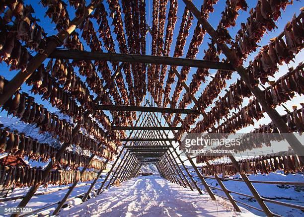 stockfish drying on hjell racks - northern norway stock pictures, royalty-free photos & images