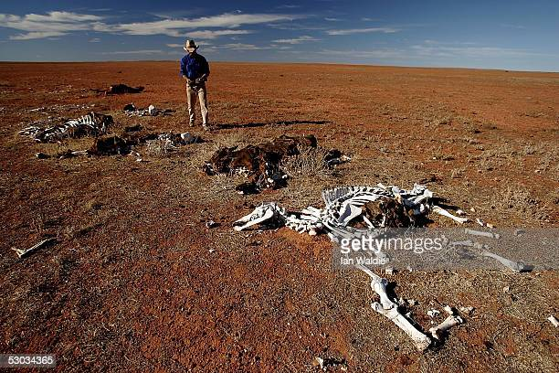 Stockman Gordon Litchfield from Wilpoorinna sheep and cattle station stands by dead horses and cattle on his property June 7 2005 in Leigh Creek...
