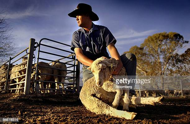 Stockman Shane Maurer handles an Australian merino sheep on Cavan Property near Yass southern New South Wales Australia on Tuesday May 1 2007 Wool...