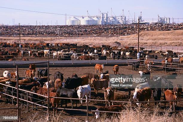 stockyard - bos stock pictures, royalty-free photos & images