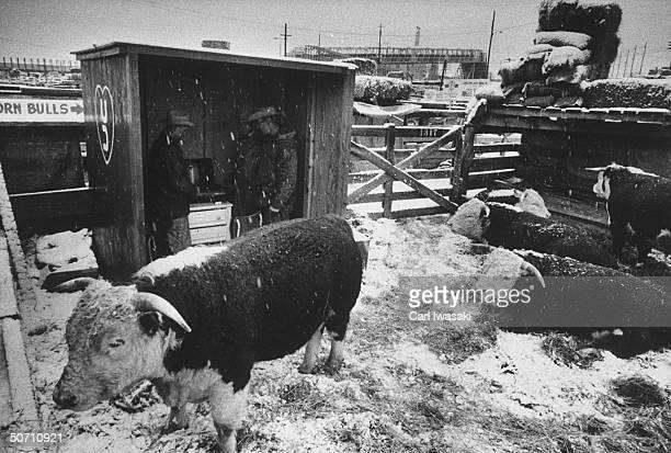 Stockyards where judging of yearling steer is being held