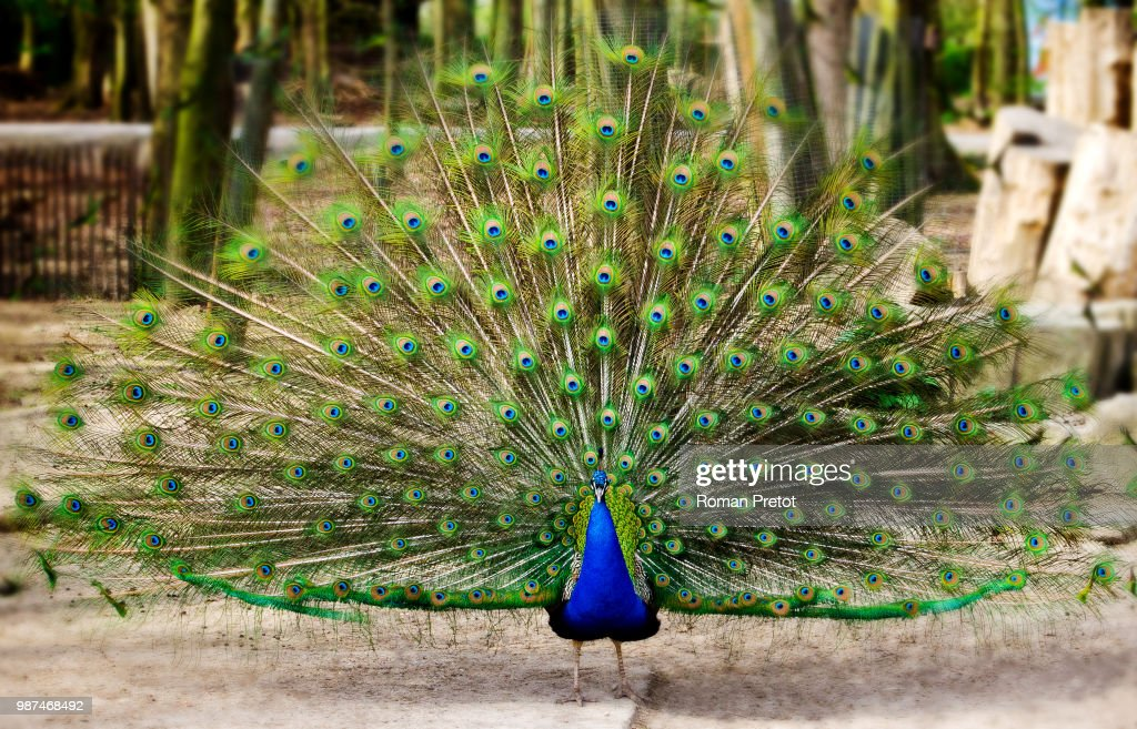 Stolzer Pfau / Proud peacock : Stock Photo