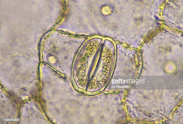 stoma (open) & guard cells. leaf epidermis, tradescantia virginica (spiderwort). 160x at 35mm. the guard cells show chloroplasts and nuclei. guard cells open and close the stoma. - pores stock photos and pictures