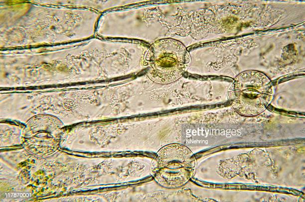 stomata of monocot micrograph