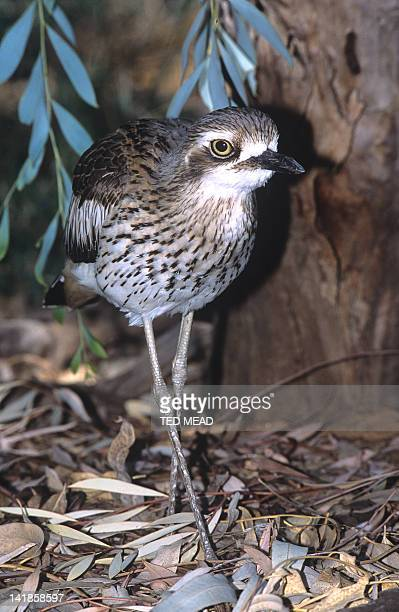 Stone Curlew or Bush Thickknee ( Burhinus grallarius ) in Central Australia.