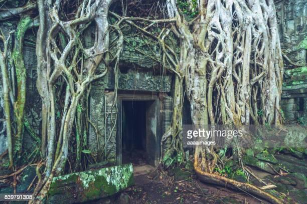 stone door and tree roots in ta prohm temple,angkor wat - mousse végétale photos et images de collection