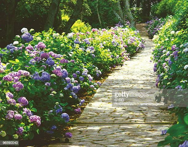 Stone paved footpath surrounded with hydrangea, Shimoda Park, Shimoda city, Shizuoka prefecture, Jap