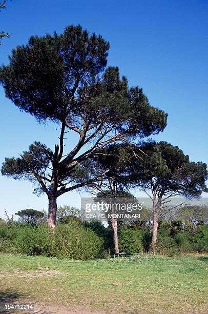 Stone Pine specimens Pinaceae
